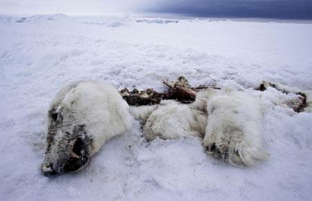 组图:北冰洋濒临灭绝的物种(自然类组照三等奖-3)