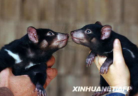 10月16日,两只袋獾幼仔在澳大利亚悉尼的塔朗加动物园里活动。这两只袋獾幼仔是澳大利亚为了挽救袋獾进行的人工繁殖项目的成果。   在过去的十年中,由于遭到一种罕见的传染性肿瘤的威胁,野生袋獾数量减少了64%。   新华社/法新