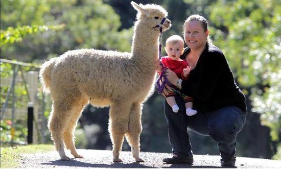 性情温和易饲养 羊驼在澳渐成理想宠物