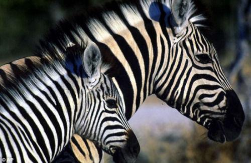 摄影师拍非洲斑马迁徙 500公里旅途寻草场(图)