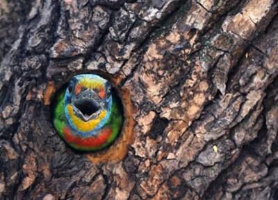 黑眉巨嘴鸟