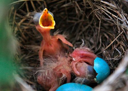 知更鸟宝宝