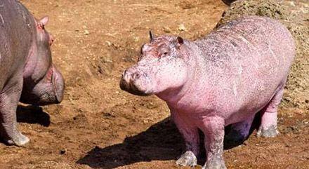 """肯尼亚发现罕见""""粉红色河马"""""""