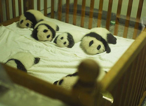 泰国大熊猫也要性教育