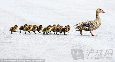 萌物有爱瞬间:鸭妈妈带小鸭子们过马路