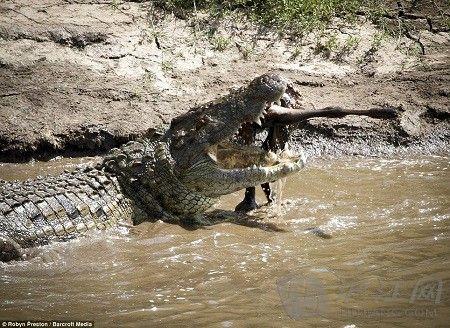 生死一瞬:非洲角马大迁徙过鳄鱼河(双语)