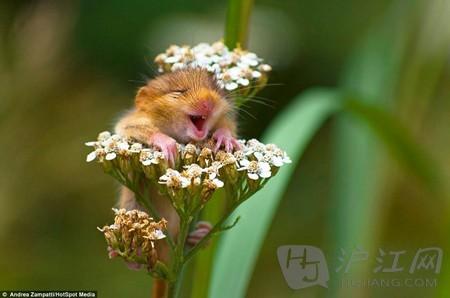 抱着花枝微笑的萌睡鼠