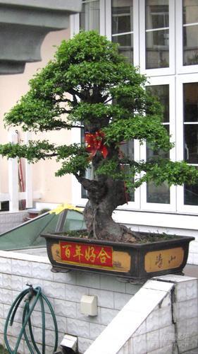 王志文大婚在即新房门前摆放百年好合盆景(图)