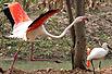 实拍:动物园里的天鹅为什么不飞走(图)