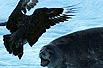 博友实拍:南极贼鸥攻击小海豹(图)