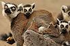 实拍:背负一家子的狐猴(图)
