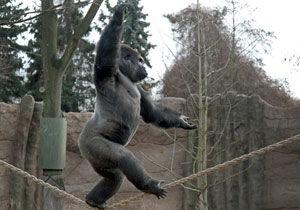 德国动物园大猩猩练就走钢丝绝技