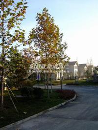琉璃湖别墅 实景图 树木