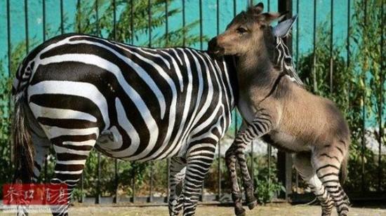 点击图片进入下一页   参考消息网8月11日报道 外媒称,位于乌克兰克里米亚半岛东南部的一家私人动物园最近迎来一个新成员:一头斑驴宝宝,也就是斑马和驴的混血后代。动物园管理员给它取名为电报。它的腿上有斑马的花纹,头和身体却是驴的。   据西班牙《阿贝赛报》8月10日报道,动物园园长奥列格·祖布科夫表示,电报非常受游客欢迎。他还说,电报的妈妈是一直斑马,很长时间以来都没有雄性斑马配偶,一直是形单影只。一位动物学家建议动物园将这匹斑马带到其他种群当中。后来斑马妈妈就遇到了驴爸爸,