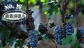 NO.16 你不得不知的十大葡萄品种