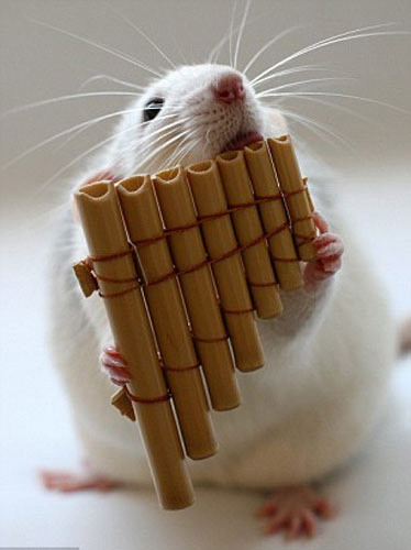 可爱宠物老鼠组乐队 上演现实版精灵鼠小弟(组图)