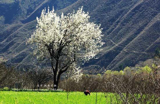 春天的心情太过急迫,除了山脚下的梨花有些许开放,山顶上寨子里的梨树