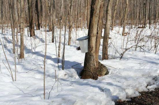 收集枫糖的小铁桶,几乎每棵树上都有。