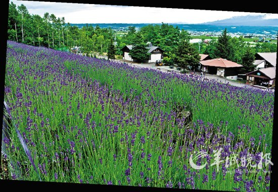 位于富良野地区的富田农场,以薰衣草招徕四方客人