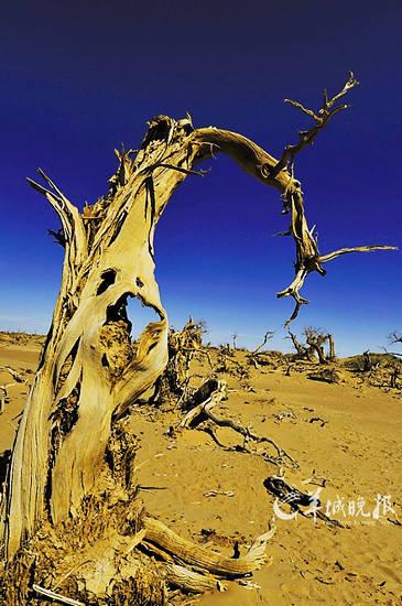 """被称为""""怪树林""""的东倒西歪的胡杨枯木林,是一道别致的风景"""