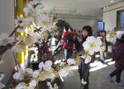 新春蜡梅梅花盆景展