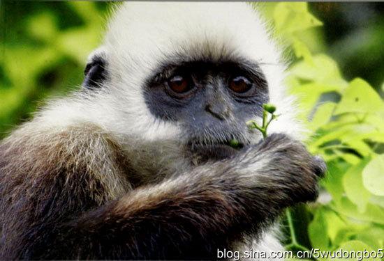 新浪旅游配图:白头叶猴 摄影:� 波��文