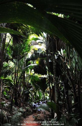 巨大的海椰子叶