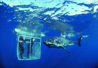 南非极限运动 与鲨鱼一起潜水