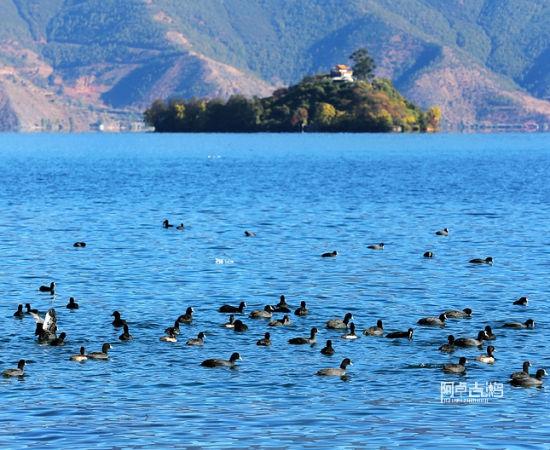 泸沽湖里的鸟群