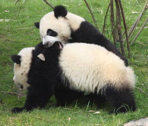 成都熊猫基地 与国宝们亲密接触