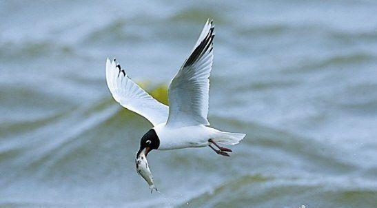 黑嘴鸥,它们似乎永远填不饱自己的肚子,而海塘里的鱼几乎唾手可得