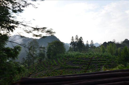 山上到处是野茶