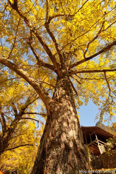 古老的银杏树