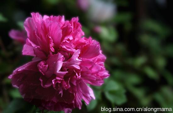 牡丹花的静距离接触 图片来源:阿龙妈妈 新浪博客