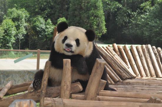 云南野生动物园内熊猫(图:百度搜索引擎)