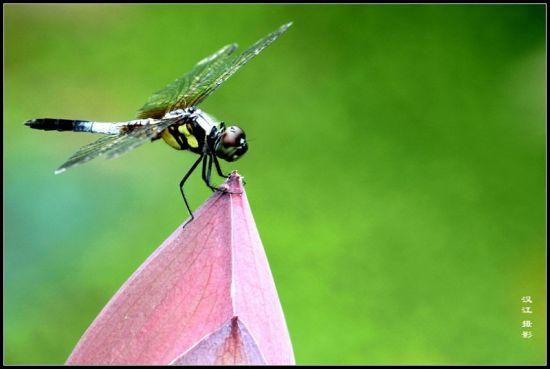 小荷才露尖尖角,早有蜻蜓立上头。
