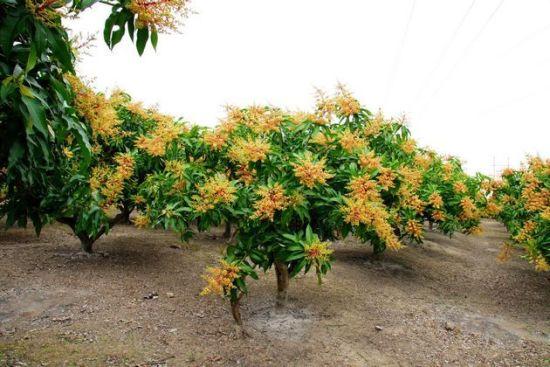 金色的芒果花