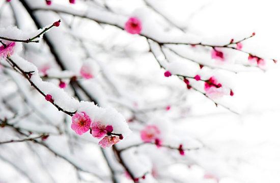朵朵红梅与雪景交相呼应,更显得娇艳无比。
