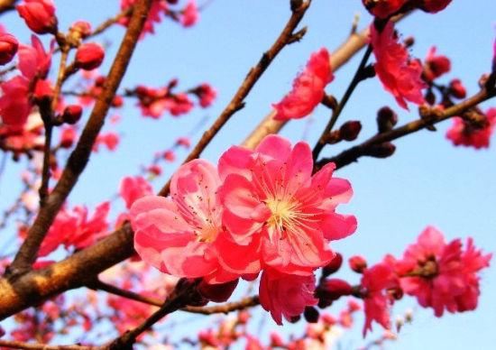 桃花―坝上花开韵芳华