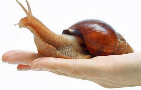 蜗牛内部解剖结构图