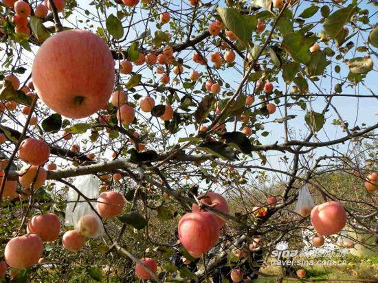 丰收的苹果园(来源:新浪微博)-金秋水果大丰收 中秋节进入辽宁采