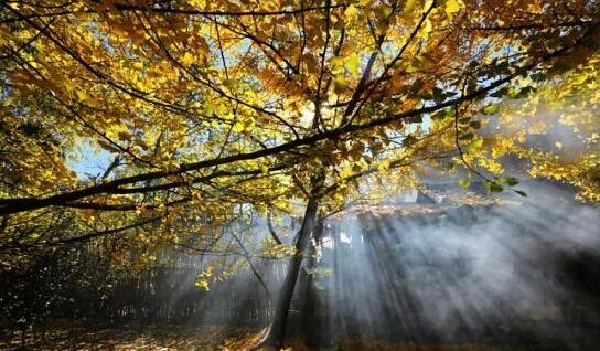 雾霭在朝阳的照射下,透过树缝,如万丈光芒洒落人间