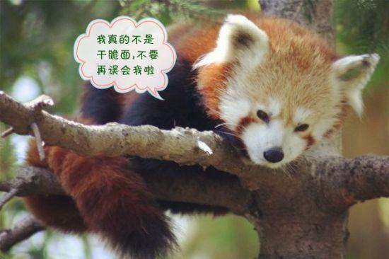 大部分的80后都是因为干脆面而认识小熊猫的。小熊猫(学名:Ailurus fulgens)又名红熊猫、红猫熊、小猫熊、九节狼等,是一种濒危的哺乳类动物,分布在中国南方到喜马拉雅山麓、不丹、印度、老挝、缅甸、尼泊尔等国。小熊猫所属的科是小熊猫科,一个介于熊科和浣熊科的科目。浣熊科仅分布于新大陆,而小熊猫的分布相当孤立。最近经过基因分析,与美洲大陆的浣熊最接近,单独列为小熊猫科。