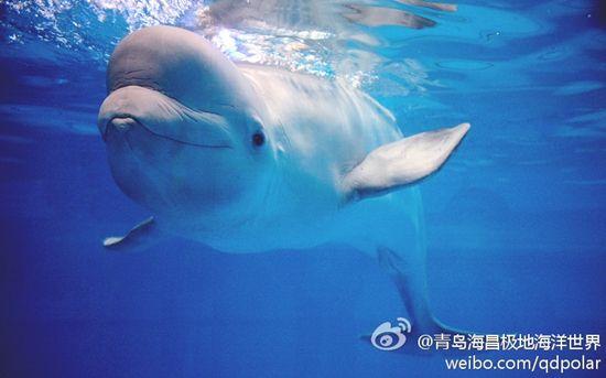 青岛极地海洋世界的白鲸(图:@青岛海昌极地海洋世界)