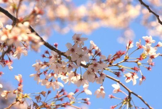 新浪旅游配图:樱花园 摄影:图片来自旅游攻略