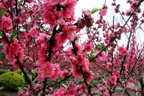 桃花的折法步骤图解