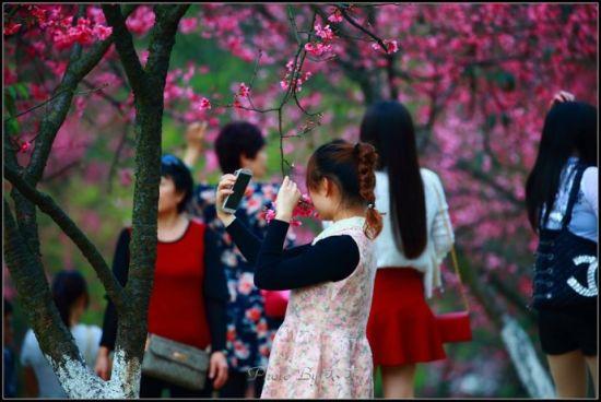 在石门公园内与樱花拍照的女孩 图:新浪博主/木木成不成林