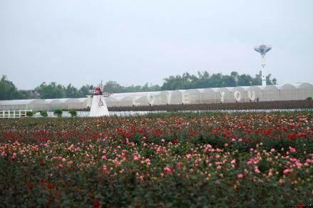 洛克玫瑰庄园的玫瑰花海 图:新浪微博/菲伦热热