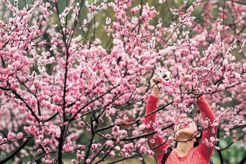↑橘子洲梅园中梅花盛放。粉红的花海中,一位市民正踮起脚拍摄这迷人的景致。