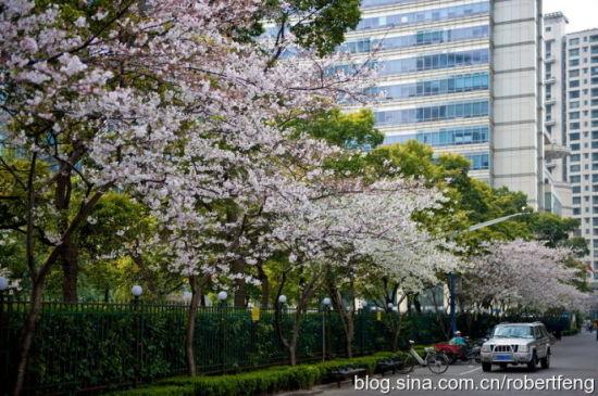 上海闹市区的赏花之旅:青海路